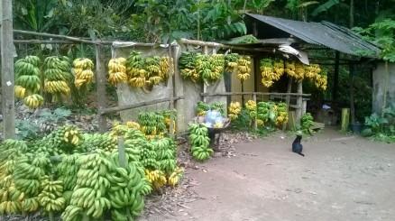 2º dia (08/08/2014) – Bananas fresquinhas